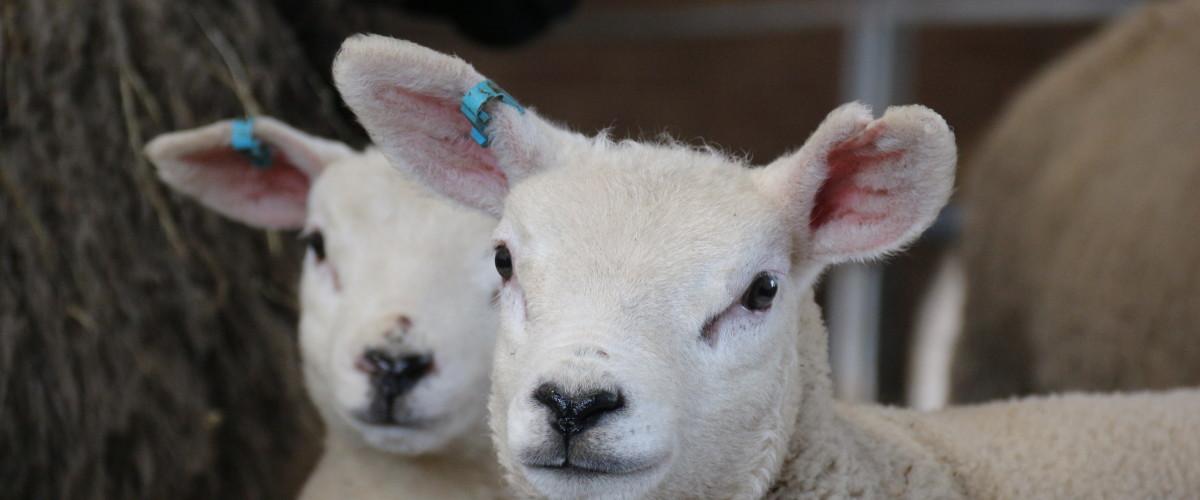 Lambs location
